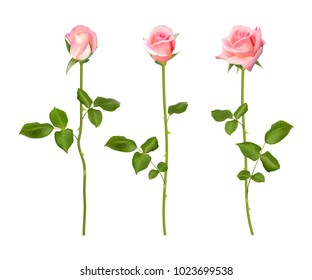 Realistic  pink rose set. Three 3d roses on whitebackground