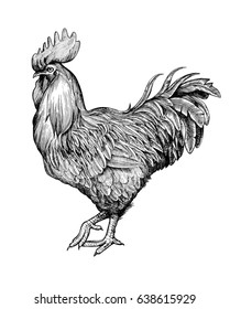 Realistic rooster or cock hand drawn in vintage engraving or woodcut style. Domestic fowl, poultry farm bird. Illustration for banner, poster, flyer, postcard, print, advertisement.