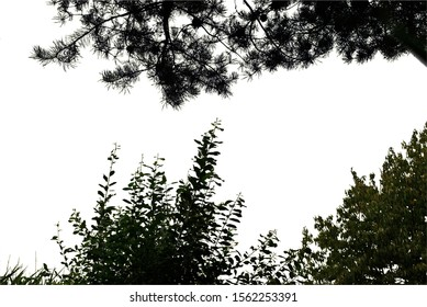 Realistic silhouette of pine and green shrub on a white background