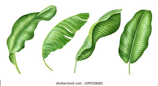 Realistic tropical botanical foliage plants. Set of tropical green Banana leaves .Hand painted watercolor illustration isolated on white.