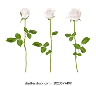 Realistic  white rose set. Three 3d roses on whitebackground. Realistic flowers  collection