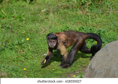Really cute black capped capuchin monkey running through grass.