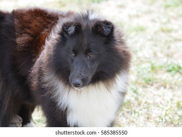Really cute black and white sheltie herd dog.
