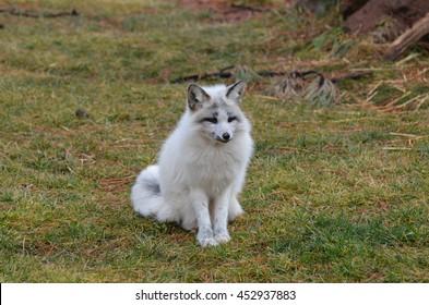 Really cute swift fox sitting in grass.
