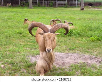 A really intimidating ram.  This mountain goat means business.