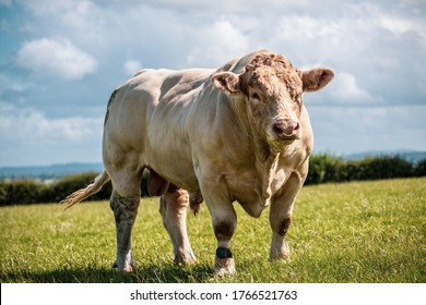 Really powerful Charolais bull - breed. Showing his muscles on sunny day on the field in UK.