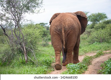 rear back view of relaxed large male African Elephant bull (Loxodonta africana) walks away from camera with its flaccid large penis hanging between its hind legs as it retreats into the wild in Africa