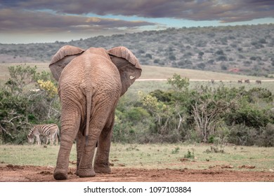 Rear view of an African elephant with flapping ears, overlooking the bush veld in the Addo Elephant National Park in South Africa