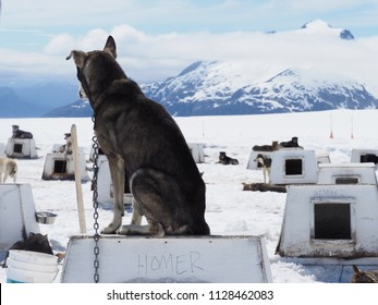 Rear view of an Alaskan husky sitting on his doghouse