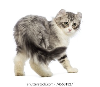 Rear view of an American Curl kitten, 3 weeks old, looking at the camera in front of white background