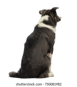 Rear view of a Border Collie, 8 months old, looking away in front of white background