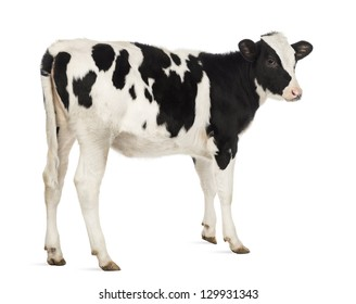 Rear view of a Calf, 8 months old, in front of white background