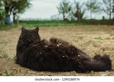 Rear view - Close up portrait of cat (Chantilly Tiffany) laying on the ground (soil) at the garden and looking ahead. Dark black tomcat resting (relaxing) and observing on the field - from behind.
