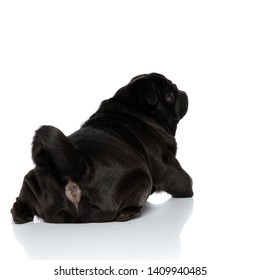 Rear view of a clumsy black pug looking to the side while lying down on white studio background