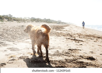Rear view of a golden retriever shaking off water on a golden sand beach after swimming in the sea during sunrise.