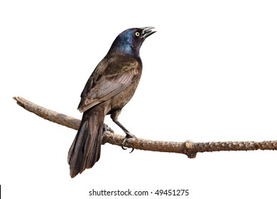 rear view of grackle perched on branch keeps a suspicious eye; white background