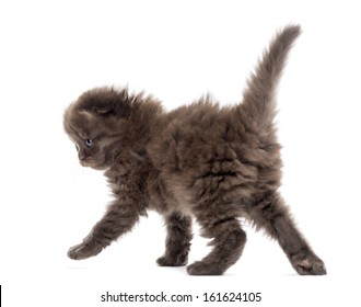 Rear view of a Highland fold kitten walking, isolated on white