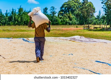 Rear view of Kenyan farm worker with full gunny bag on shoulders, walking across the drying maize to pour corn kernels onto a tarpaulin for drying. The harvest is dried to remove all the moisture.