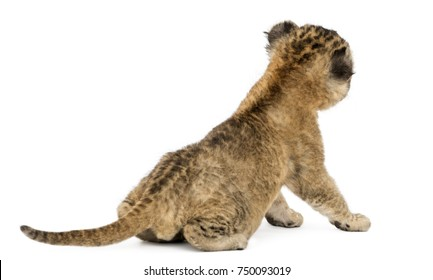 Rear view of a Lion cub sitting, 16 days old, isolated on white