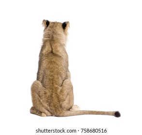 Rear view of lion, Panthera leo, 9 months old, in front of white background, studio shot