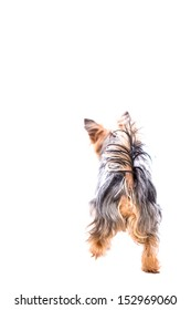 Rear view of a playful Yorkie or Yorkshire terrier standing with ears pricked and tail raised on high, isolated on white