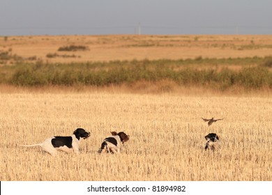 rear view of pointer puppies pedigree dogs and quail just discovered