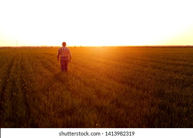 Rear view of senior farmer walking in young wheat field and examining crop at sunset.