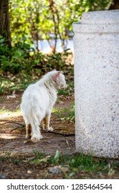 Rear view of a stray injured and sick white long-haired tomcat next to a concrete trash can in the Bulgarian village of Krepost, Haskovo Province