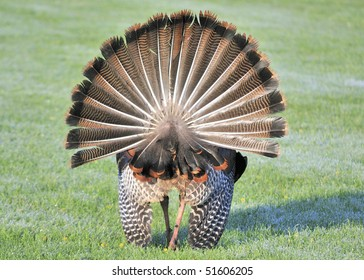 Rear view of a strutting male wild turkey displaying in the spring mating season.