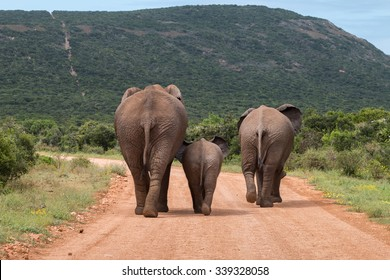 Rear view of three African elephants walking down a dusty gravel road, with a baby walking between two large elephants (Loxdonta) in South Africa