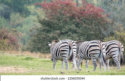 Rear view of three zebras. Photographed at Port Lympne Safari Park, Ashford Kent UK. The Kent countryside in autumn can be seen in the background.