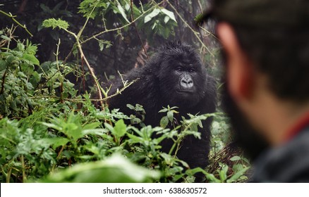 Rear view of tourist observing mounta gorilla