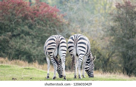 Rear view of two zebras. Photographed at Port Lympne Safari Park, Ashford Kent UK. The Kent countryside in autumn can be seen in the background.