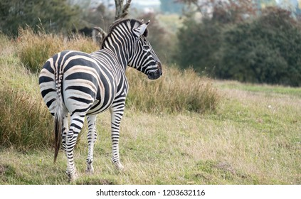Rear view of zebra. Photographed at Port Lympne Safari Park, Ashford Kent UK. The Kent countryside in autumn can be seen in the background.