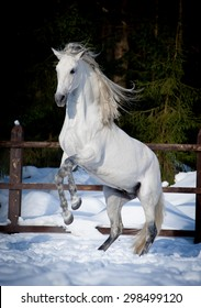 rearing andalusian horse win winter