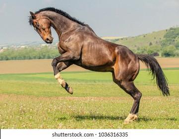 rearing bay horse
