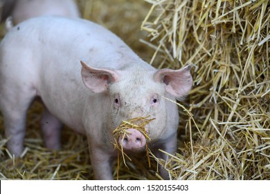 rearing of pigs on straw