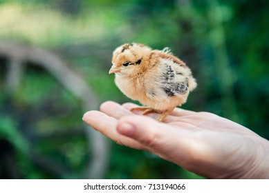 Rearing small chicken. Poultry farming. Agriculture.