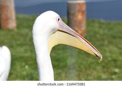 reat white pelican,Pelecanus onocrotalus, eastern white pelican, rosy pelican or white pelican is a bird in the pelican family summer