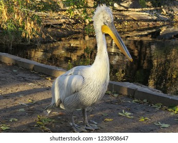 reat white pelican,Pelecanus onocrotalus also known as the eastern white pelican, rosy pelican or white pelican is a bird in the pelican family.