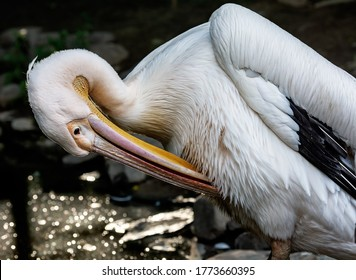 reat white pelican,Pelecanus onocrotalus also known as the eastern white pelican, rosy pelican or white pelican is a bird of the pelican family