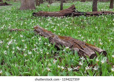 A rebirth of a colony of white trout lilies takes over the charred logs on the forest floor.Trout lilies are one of the first wildflowers to announce the arrival of spring in the woodlands.