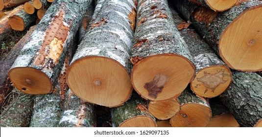 recently cut down trees in the forest, logs and branches around