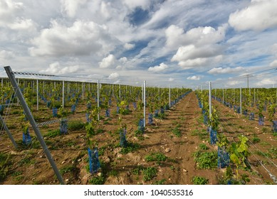 Recently planted young vine grapes on great vineyard in Germany