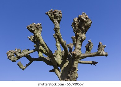 Recently pollarded tree against a strong blue sky