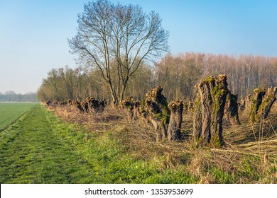 Recently pruned pollard willow trees in the foreground of a forest and next to grass. The photo was taken in the beginning of spring in the Dutch nature reserve Biesbosch, North Brabant.