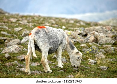 Recently sheared Herdwick sheep graze on rocky remote Lake District fells. Much loved and protected by Beatrix Potter who supported Lakeland fell farming