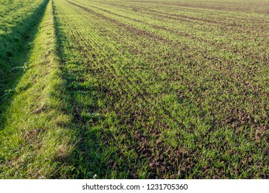 Recently sown young fresh green blades of grass in long rows growing in crumbled earth. Beside the field is a dried-up ditch. It is a sunny day in the Dutch autumn season.