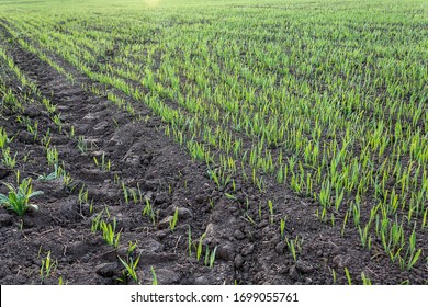 recently sprung sprouts of wheat and rye crops on a farm field, agricultural products and crops, close-up, selective focus