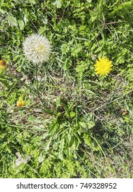 Receptacle and flower of lesser, hairy or rough hawkbit, Leontodon taraxacoides, growing in Galicia, Spain